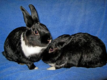 Spike and Marley after they came to SaveABunny from Ukiah.